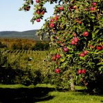 Where To Pick Your Own Apples In Western MA