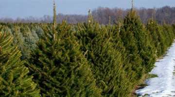 are you looking for a list of Christmas tree farms in Western MA? Here is a great list!