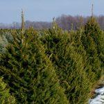 Christmas Tree Farms in Western MA