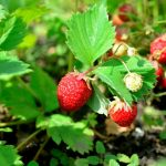 Where to Pick Your Own Strawberries in Western MA